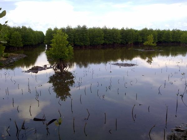 Mangrove area in Jomalig Island