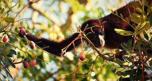 Red howler monkey picking a berry in Costa Rica