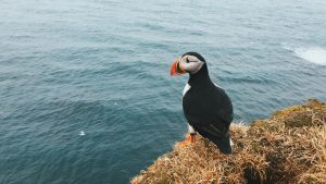 Puffin in Latrabjarg, Iceland